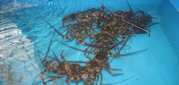1,8 Juta Benih Lobster Senilai 281 Miliar Berhasil di Gagalkan KKP